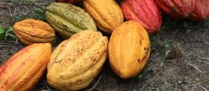 La planta Nacional de Ecuador que da el rico Cacao